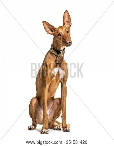 Sitting Podenco wearing a collar, isolated on white
