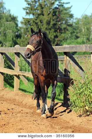 Walking Purebred horse at a paddock