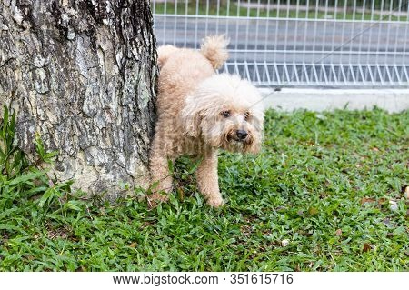 Male Poodle Dog Urinate Pee Onto Tree Trunk In Outdoor Park To Mark Territory