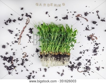 Raw Sprouts Of Peas Microgreen With Soil And Worms, Gardening And Farming Concept. Vegetable And Mic