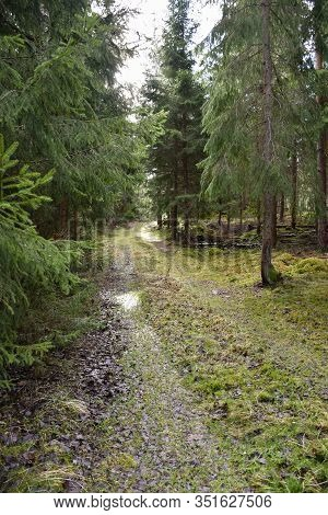 Mossy Forest Road Through A Green Spruce Forest