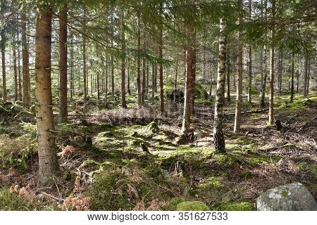 Bright Coniferuous Forest With Sunlit Mossy Ground