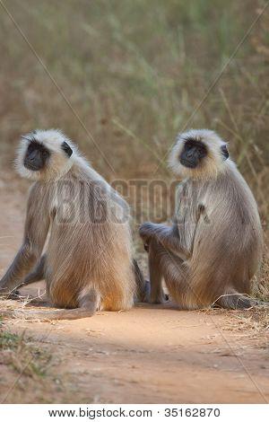 Gemeinsame Langur Moneky in Indien
