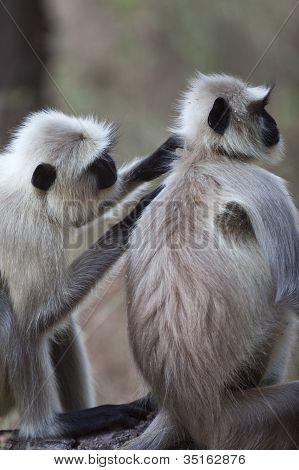 gemeinsame Hanuman-Langur-Affen, die Pflege