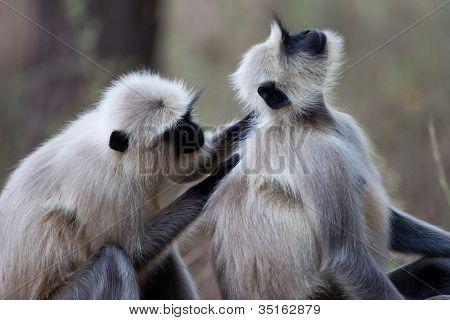 Gemeinsame Langur-Affen, die Pflege