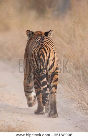 Wilde Bengal Tiger zu Fuß entfernt