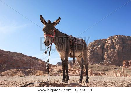 Esel in Petra, Jordanien