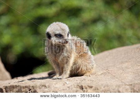Baby-Erdmännchen