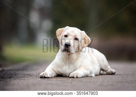 Young Labrador Retriever Puppy Walking Outdoors In Spring