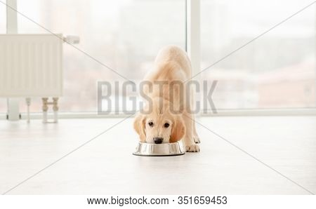 Adorable golden retriever puppy eating from bowl indoors