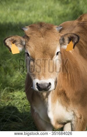 A Little Brown Cow Looking At The Camera On A Green Field. Bos Primigenius Taurus
