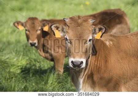 2 Small Cows Facing The Camera On A Green Field. Bos Primigenius Taurus