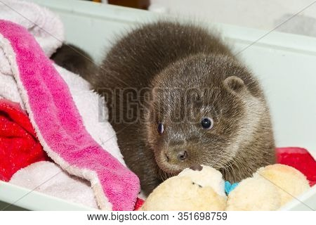 Orphaned And Hand Reared Otter Baby In A Zoo