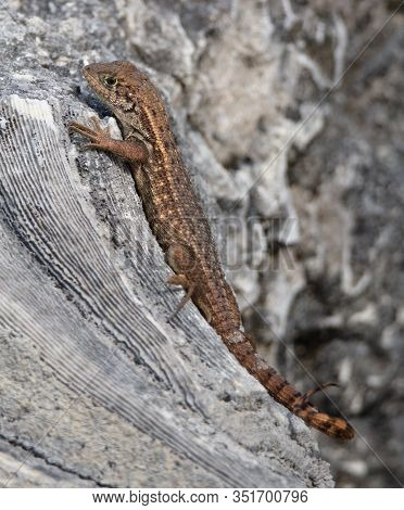 Leiocephalus Carinatus, Or Northern Curly-tailed Lizard Suns Itself On Fossilized Coral At Windley K