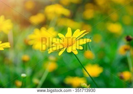Close Up Of Yellow Dasie Flower With Green Leaf Background