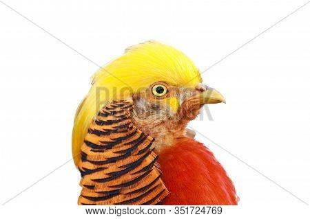 The Golden Pheasant Or Chinese Pheasant (chrysolophus Pictus) , Portrait Of The Male With Brown Back