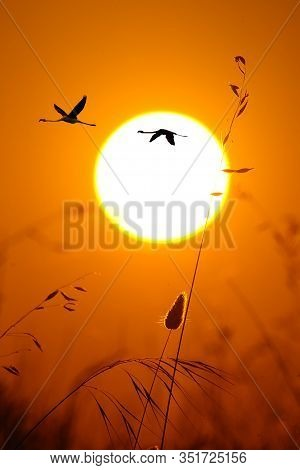 The Greater Flamingo (phoenicopterus Roseus) Flying Throught The Sun. Flyin Flamingos In The Evening