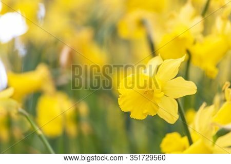 Daffodils Bright Spring Yellow Flower With Copy Space For Web Banner And Invitation Card Display Des