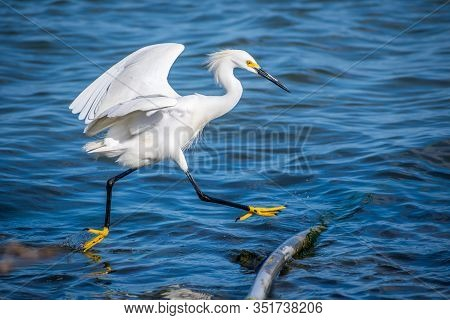 A Snowy White Egret In Rockport, Texas