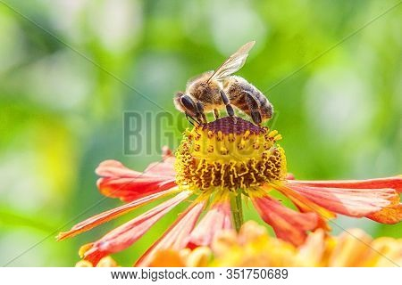 Honey Bee Covered With Yellow Pollen Drink Nectar, Pollinating Orange Flower. Inspirational Natural