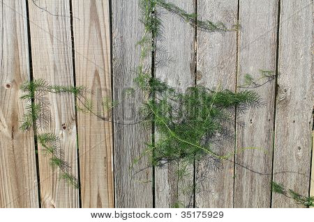 Ivy On Old Fence