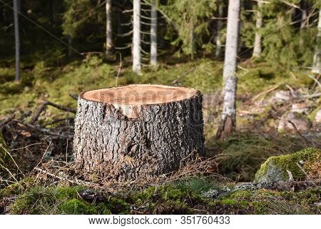 Tree Stump Close Up In A Coniferuous Forest