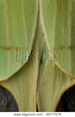 Abstract Luna Moth Wings Closeup