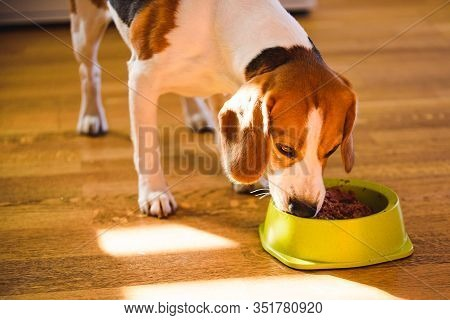 Dog Beagle Eating Canned Food From Bowl In Bright Interior. Dog Food Concept.