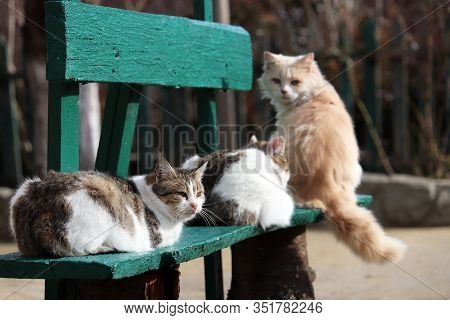Three Cats Sitting On A Wooden Bench. Cute Animals In Sunny Weather, Rural Scene