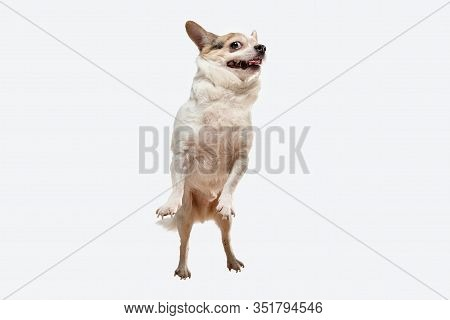 Chihuahua Companion Dog Jumping. Cute Playful Creme Brown Doggy Or Pet Playing Isolated On White Stu