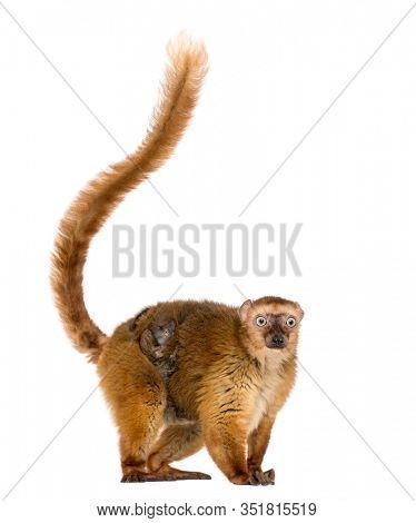 female blue-eyed black lemurs whit her baby, isolated on white