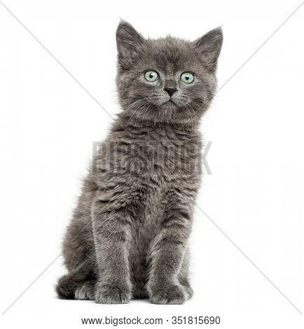Grey kitten British Shorthair sitting, 7 weeks old, isolated on white