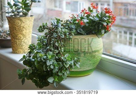 Red Kalanchoe Blossfeldiana On Window Sill. Flowering Houseplant Succulent Flaming Katy.