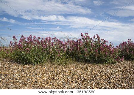 Red Valerian (Centranthus ruber) on Aldeburgh Beach, Suffolk, En