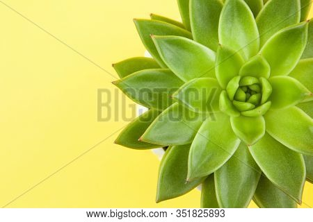 Trendy Succulent Haworthia Cymbiformis Closeup On Yellow Background, Copy Space, Macro. For Social M