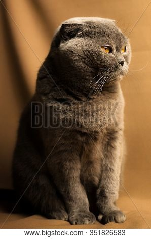 Scottish Fold Cat On Coffee Background, Full Lenght Portrait On Fabric