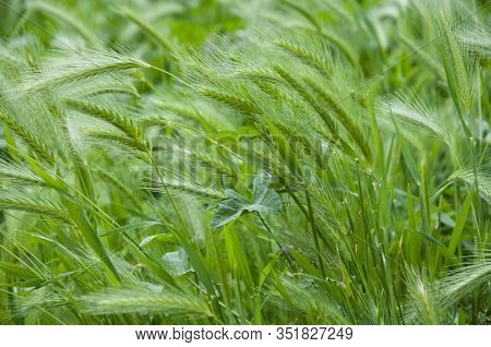 Widely Cultivated For Its Seed. Summer Wheat. Green Wheat Grass. Wheat Ears Growing On Field. Farm F