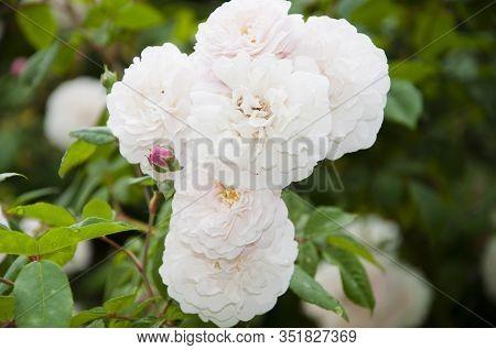 The Lush Blossom. Shrub Of Rosy Roses Flowering In Summer. Rose Flowers Blossoming In Park Garden. G