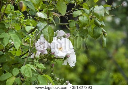 Blooming From Midspring To Fall. Summer Bloom. Rose Flowers Blossoming In Park Garden. Shrub Of Rosy