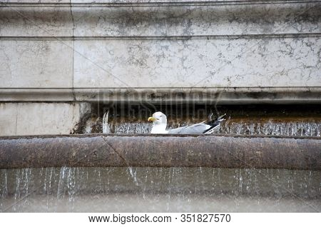 Ornamental Pond. Seagulls Bathing In Water Spouting Into Stone Basin. Sea Gull In Ancient Fountain.