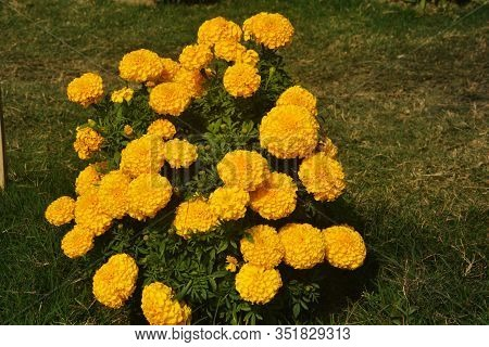 Close Up Of Indian Yellow Inka Genda Marigold Flowers Growing In A Garden With Green Leaves, Selecti