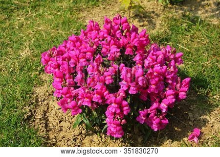 Close Up Of Best Annual Flowers, Antirrhinum Majus, Antinium Flowers, Commom Snapdragon Flowering Pl