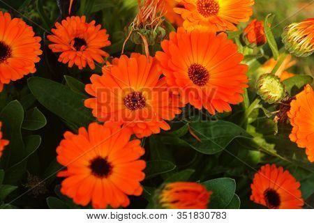 Close Up Beautiful Indian Calendula Officinalis, Pot Marigold, Rubbles, Common Marigold Or Scotch Ma