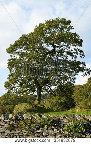 Ash Tree Latin Name Fraxinus Excelsior In Cumbria