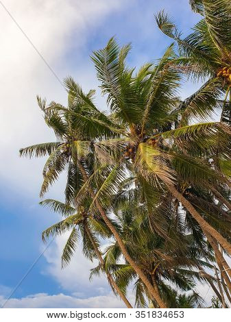 Beautiful Image Of Tropical Coconut Palm Tree Tops Over The Clear Blue Sky