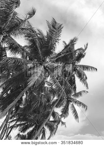 Black And White Image Of Palm Tree Tops Over The Clear Sky