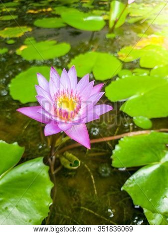 Closeup Image Of Beautiful Purple Water Lilly Bloomin On The Pond
