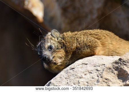 Rock Hyrax Relaxing On Sandstone (procavia Capensis), Mossel Bay, South Africa