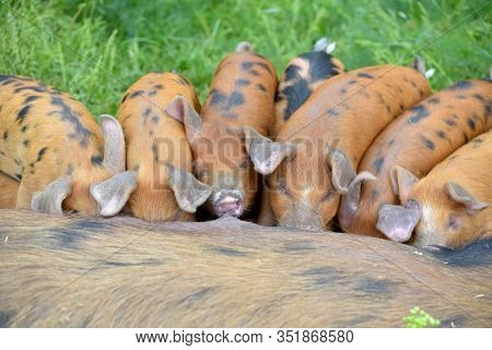 Gloucester Old Pig Suckling, Sus Scrofa Domesticus, Suckling A Group Of Young Piglets