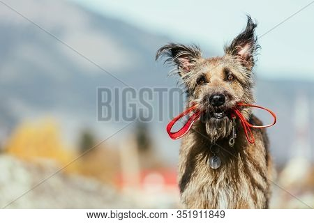 A Funny Dog In A Collar Holds A Leash In Its Mouth. She Walks In Nature.